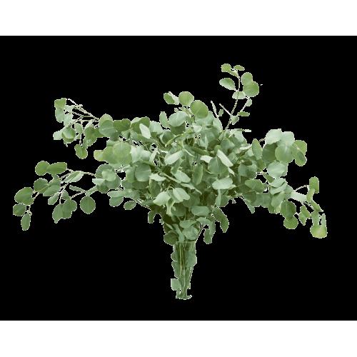 Eucalyptus Populus Leaf