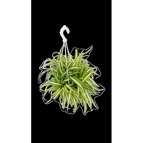 Chlorophytum (Spider Plant)